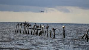 pelican-png
